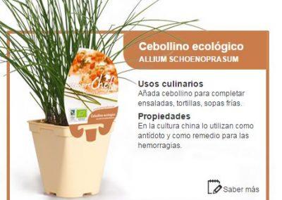 Cebollino ecológico