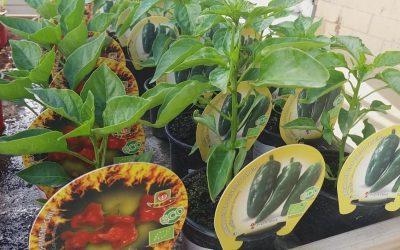 Plantero y planta aromática disponible