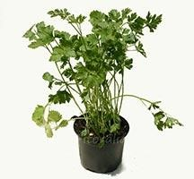 Cómo cultivar plantas aromáticas
