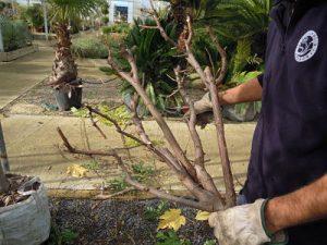 Poda de Robinia pseudoacacia en vivero